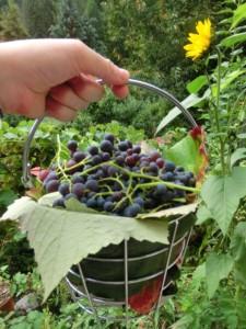 Die Weinernte im Wallis wurde beeinträchtigt aber auch andere Erträge (Foto Weintrauben: Remo Maßat / Schlagwort AG)