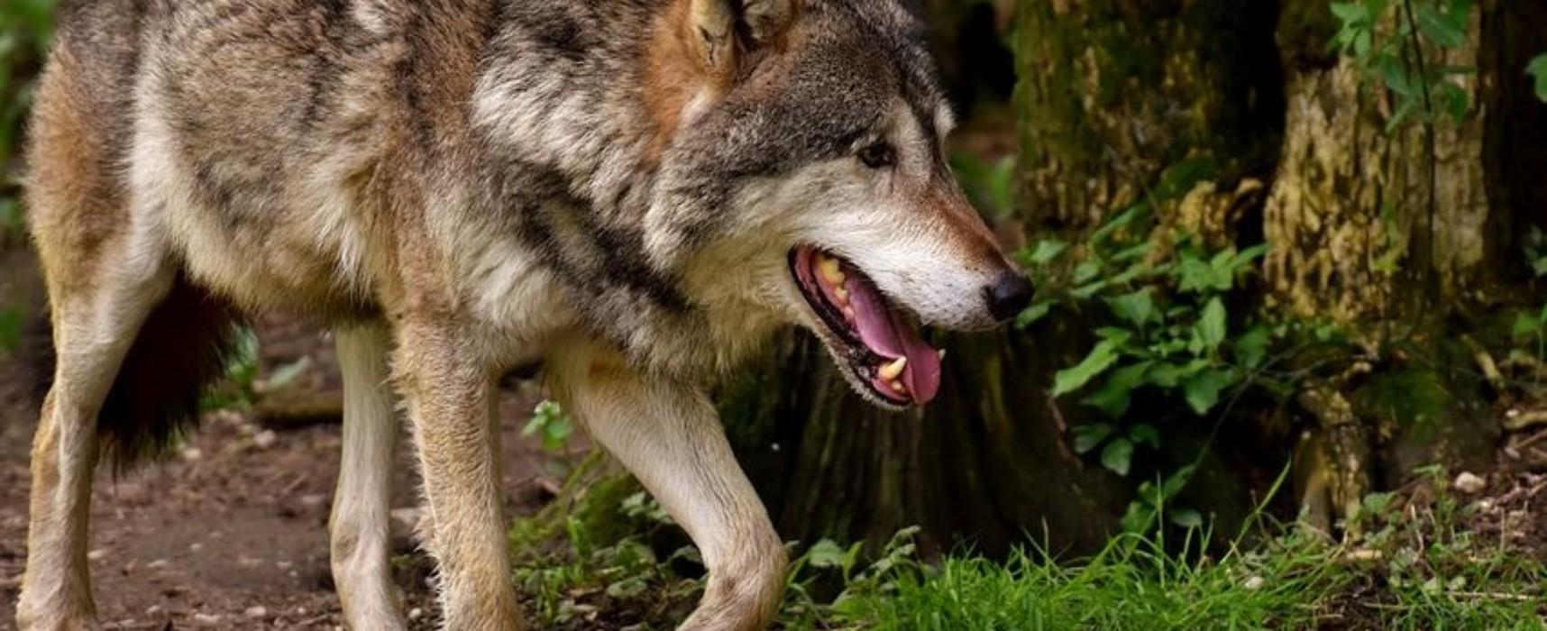 Wolfsmonitoring 2017